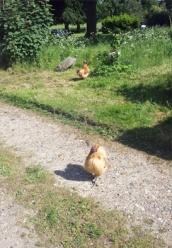 Glem-chickens